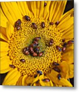 Sunflower Covered In Ladybugs Metal Print