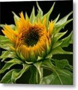 Sunflower - Doubleshine Metal Print