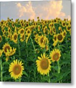 Sunflower Faces At Sunset Metal Print