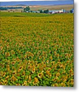 Sunflower Farm In Northwest North Dakota  Metal Print