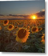 Sunflower Field - Colorado Metal Print by Lightvision, LLC
