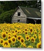 Sunflower Field And Barn Metal Print