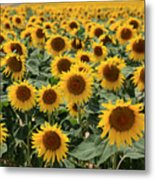 Sunflower Field France Metal Print