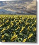 Sunflower Fields Near Denver International Airport Metal Print