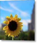Sunflower In Providence Metal Print