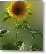 sunflower No. 10 Metal Print