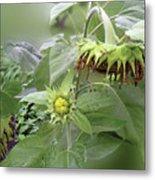 sunflower No.7 Metal Print