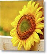 Sunflower On The Fence Metal Print