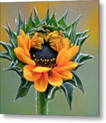 Sunflower Opens Metal Print