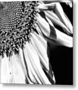Sunflower Petals In Black And White Metal Print