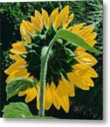 Sunflower Rear Metal Print