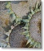 Sunflower Seed Heads Dried To Perfection Metal Print