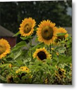 Sunflowers And Red Barn 2 Metal Print