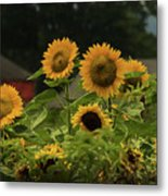Sunflowers And Red Barn 3 Metal Print