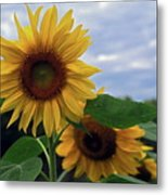 Sunflowers Close Up Metal Print