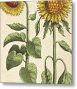 Sunflowers Illustration From Florilegium Metal Print