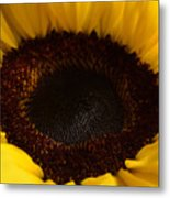Sunflowers - Helianthus Metal Print