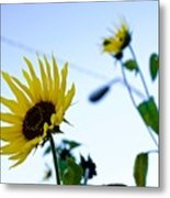 Sunflowers In Fall Metal Print
