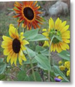 Sunflowers Of August Metal Print