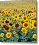 Sunflowers On A Cloudy Day Metal Print