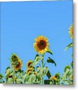 Sunflowers On Blue Metal Print