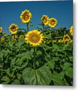 Sunflowers Weldon Spring Mo Ver1_dsc9821_16 Metal Print