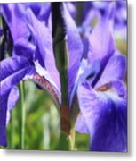 Sunlight On Blue Irises Metal Print by Carol Groenen