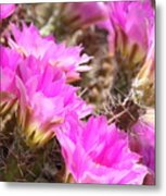 Sunlight On Pink Cactus Blooms Metal Print