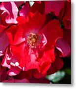 Sunlit Blooms Of Dortmund Hybrid Scots Briar Rose Metal Print