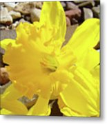 Sunlit Daffodil Flower Spring Rock Garden Baslee Troutman Metal Print