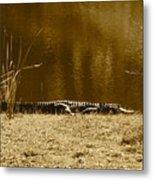 Sunning Gator Metal Print
