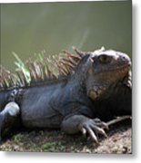 Sunning Gray Iguana Sitting Beside Water Metal Print
