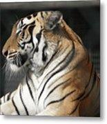 Sunning Tiger Metal Print
