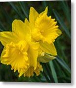 Sunny Daffodils Metal Print