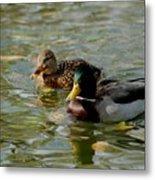 Sunny Mallard Ducks Metal Print