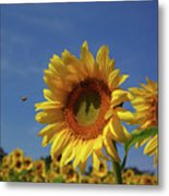 Sunny Sunflower Soloist With Backup Chorus Metal Print
