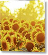 Sunny Sunflower Sunset Metal Print