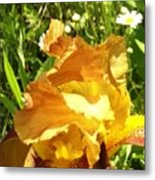 Sunny Wine Iris With Daisies Metal Print