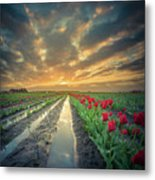 Sunrise At Tulip Filed After A Storm Metal Print