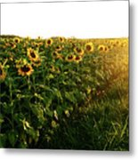 Sunset And Rows Of Sunflowers Metal Print