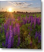 Sunset Over Meadow Of Lupine Metal Print
