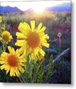 Sunsets And Sunflowers In Buena Vista Metal Print