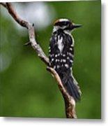 Sunshine Needed - Male Downy Woodpecker Metal Print
