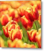Sunsoaked Tulips #7 Metal Print