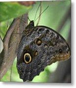 Superb Markings On An Owl Butterfly In A Garden Metal Print