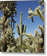 Surrounded Saguaro Cactus Wren Metal Print