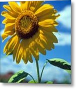 Sussex County Sunflower Metal Print