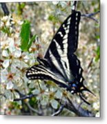 Swallowtail And Plum Blossoms Metal Print