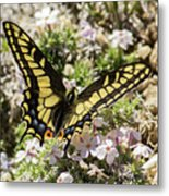 Swallowtail At Sand Wash Metal Print