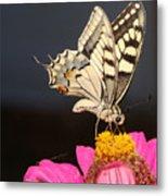 Swallowtail On Pink Flower  Metal Print
